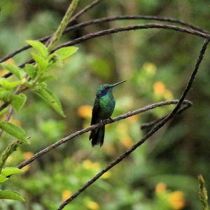 Colibri cyanote