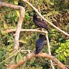 Corbeau à gros bec