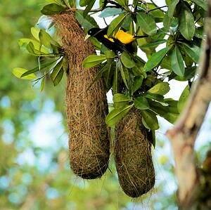 Cassique cul-jaune