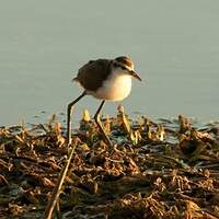 Jacana du Mexique