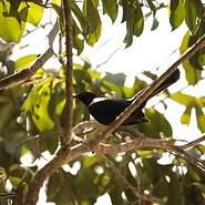 Moqueur noir