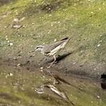 Paruline des ruisseaux