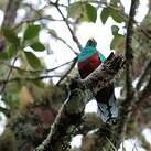 Quetzal brillant