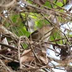 Troglodyte montagnard