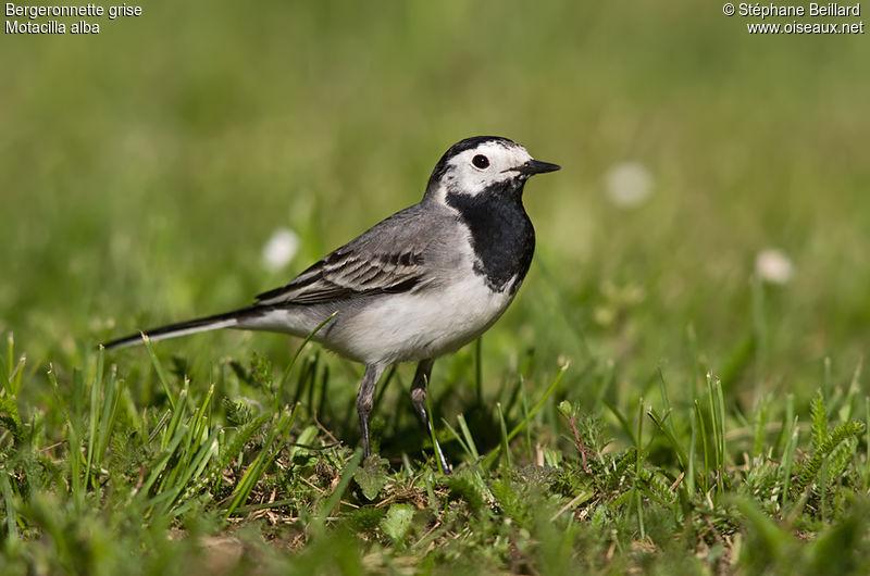 Photos des oiseaux de france page 591 for Oiseaux de france