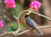 Bulbul de Madagascar