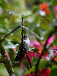 Colibri à gorge lilas
