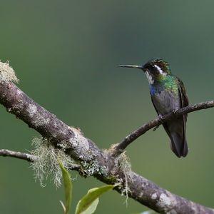 Colibri à queue grise