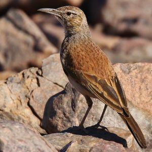Alouette du Namaland