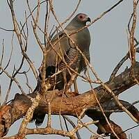 Gymnogène de Madagascar