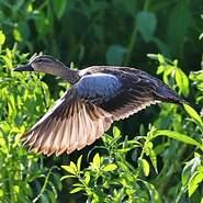 Sarcelle à ailes bleues