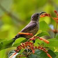 Souimanga nectarin