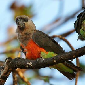 Perroquet à ventre rouge