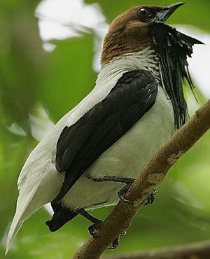 Araponga barbu