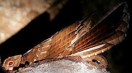 Guacharo des cavernes