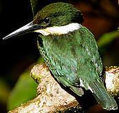Martin-pêcheur vert