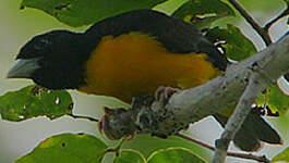 Tisserin bicolore
