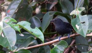 Grisin noirâtre