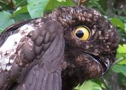 Ibijau à ailes blanches