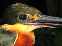 Martin-pêcheur nain