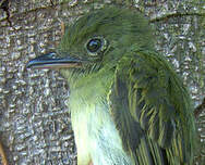 Platyrhynque olivâtre