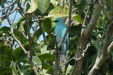 Gobemouche vert-de-gris