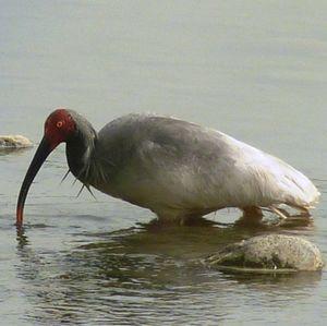 Ibis nippon