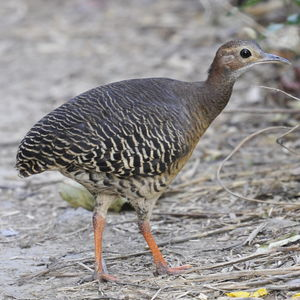 Tinamou cannelle