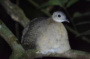 Tinamou à gorge blanche