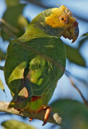 Amazone à face jaune
