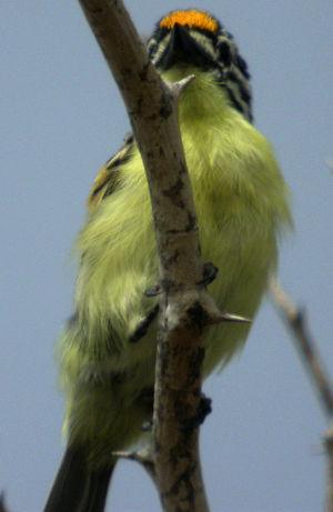 Barbion à front jaune