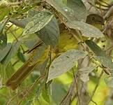 Bulbul à poitrine jaune