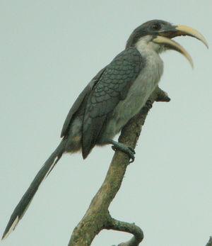 موسوعة شاملة عن طيور البوقير Calao.de.ceylan.thbe.1p