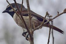 Calicalic malgache