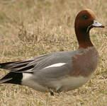 Canard siffleur