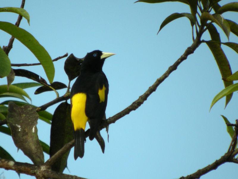 Cassique cul jaune ref thbe41000 for Oiseau jaune et noir