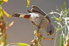 Cataménie maculée