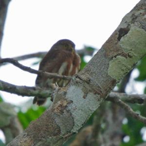 Chevêchette d'Amazonie