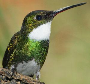 Colibri à gorge blanche