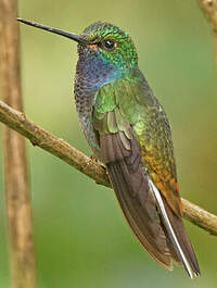 Colibri à queue blanche