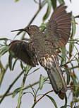 Colibri géant