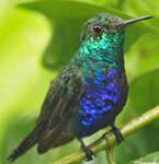 Colibri julie