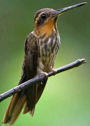 Colibri tacheté