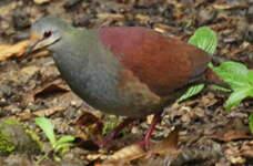 Colombe du Costa Rica