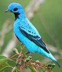 Cotinga bleu