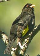 Cotinga noir