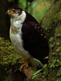 Épervier bicolore