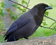 Geai bleu-noir
