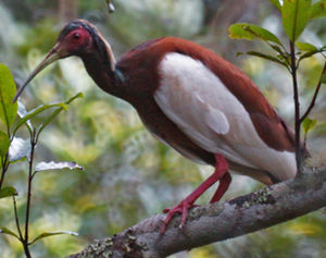 Ibis huppé