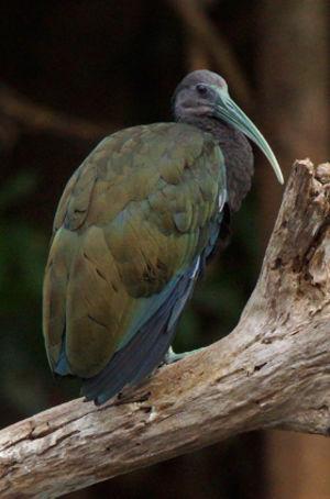 Ibis vert